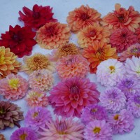 Even More Time with Dahlias in the Garden -
