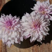 Shiloh Noelle Dahlia: An Amazing Surprise in the Dahlia Patch