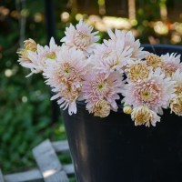 Seaton's J'Adore Chrysanthemum: A Classic Beauty