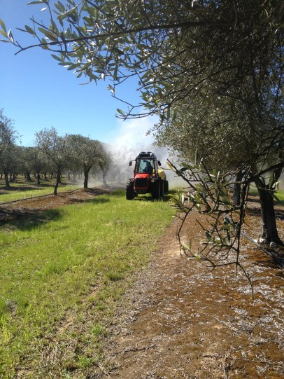 Tornado sprayer demo in the olive grove.