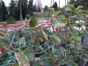 Kiwi vine in the community garden