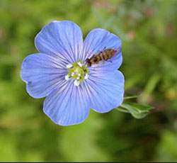 Meadow Flax Single Flower 250