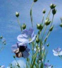 flaxseedbeesview250