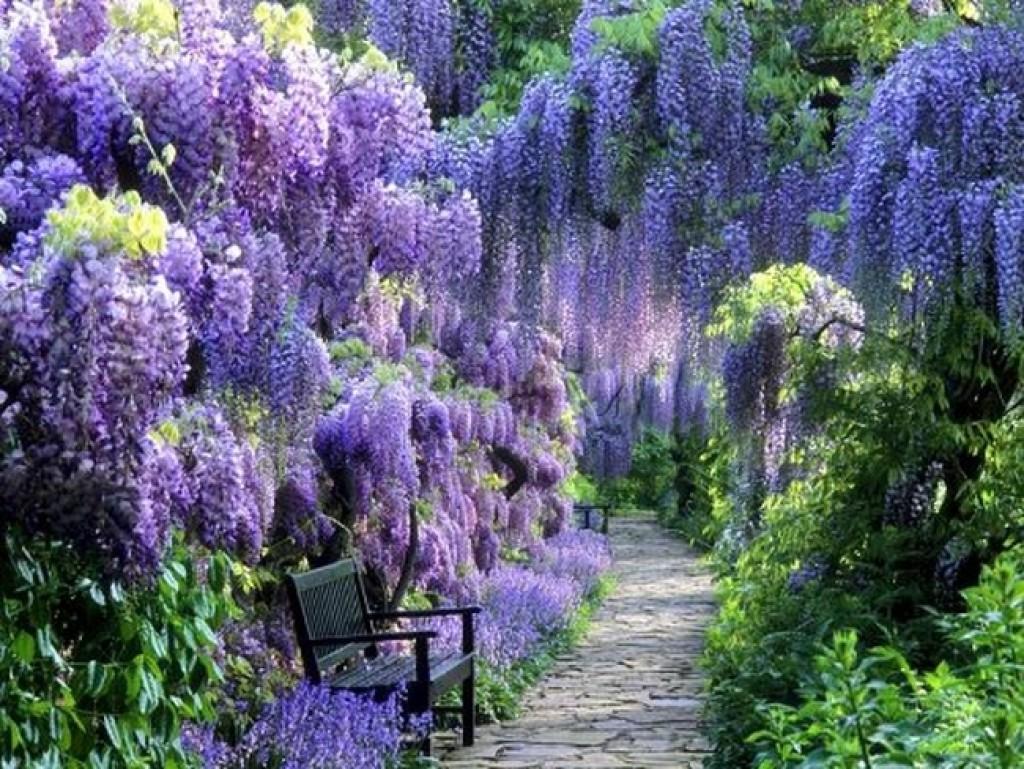 Cute Kitty Wallpapers Free Blue Moon Wisteria Vine Fresh Garden Decor