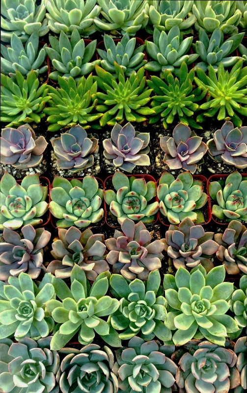 Stunning Succulent Rosettes From Shop Succulents Licensed