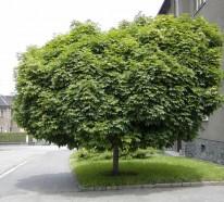 Kugelahorn Krankheiten  Ahorn Baum im Garten
