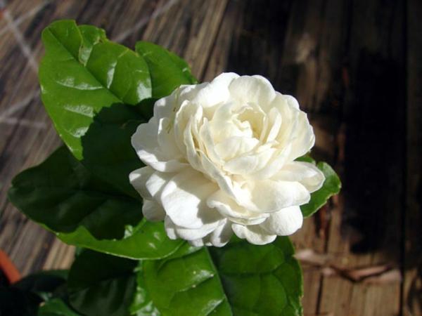 Die Jasmin Pflanze verbreitet schne Dfte zu Hause