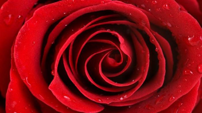 Rote Rosen Bilder