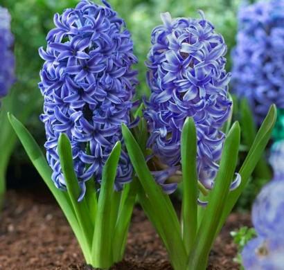 Hyazinthen Herrliche Frhlingsblumen bringen Stimmung ins Haus