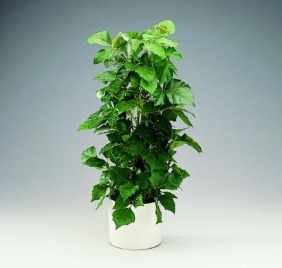 Plante dintrieur super dco et facile dentretien  la vigne dappartement