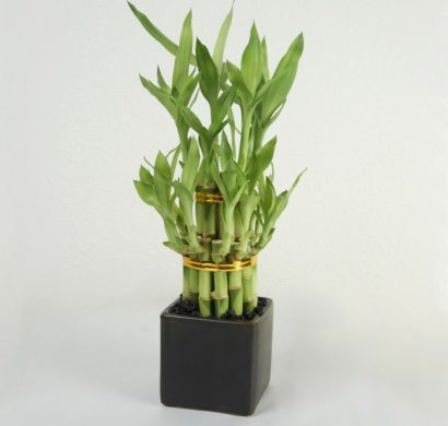 Bambou dintrieur  comment cultiver cette plante exotique