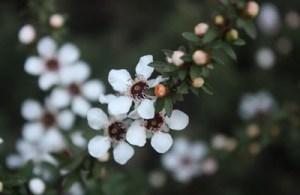 Manuka flowers & bush