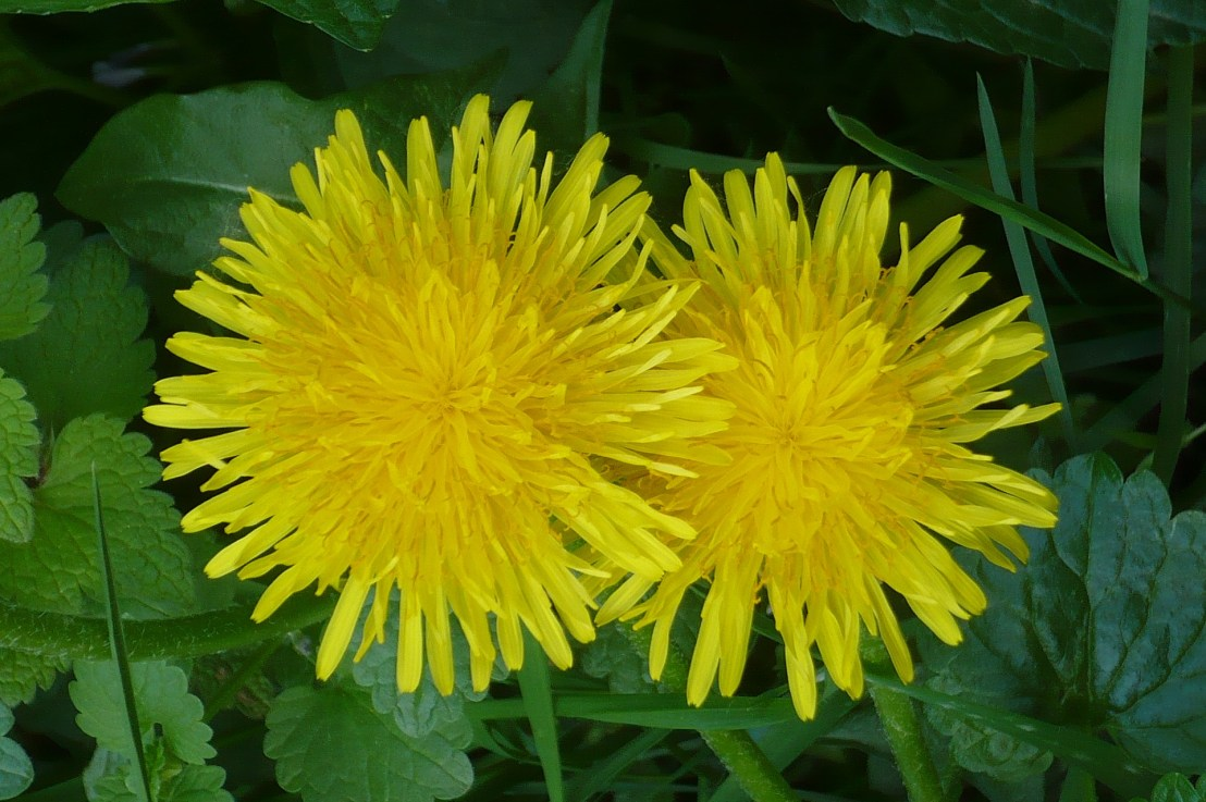Dandelion – a most delicious and healthy, pesky weed …. er, herb