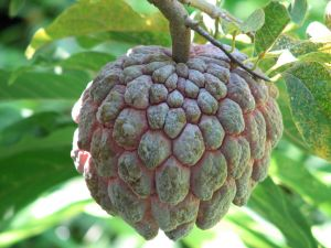 PAPAUSA FRUIT MEXICO - PAPAUSA EXOTIC FRUIT (click image to view)