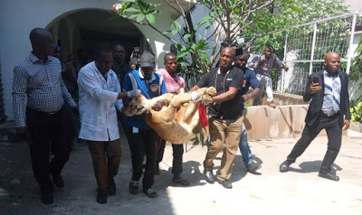 LASG evacuates lion from private residence to Lekki Zoo2B252812529