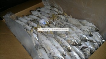 frozen horse mackerel from Senegal