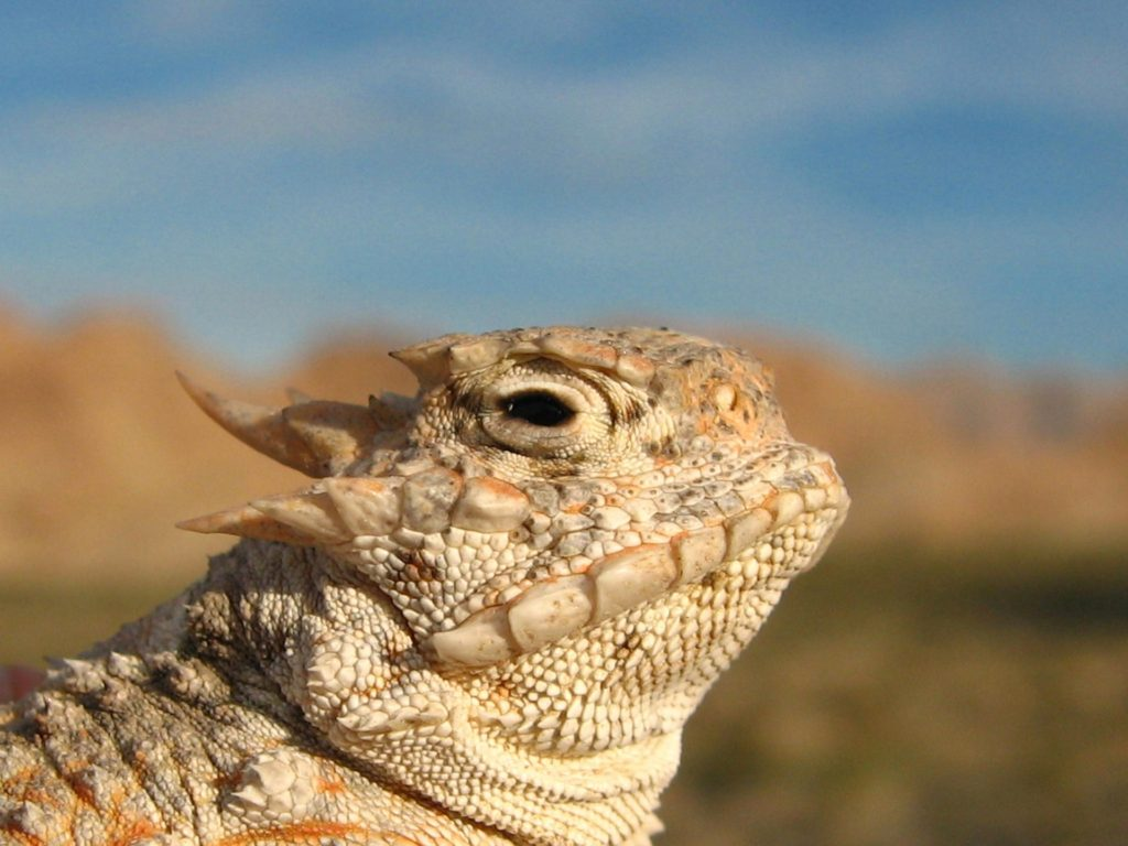 Coalinga Horned Toad Derby