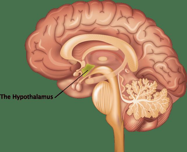 The-Hypothalamus-1024x830