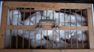 Weiße Tauben in Timisoara