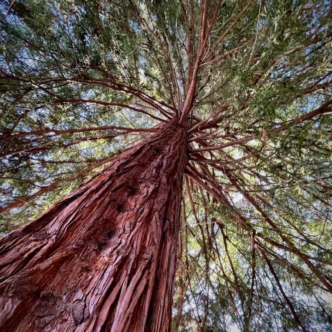 California Coastal Redwood