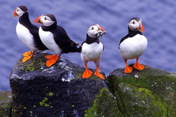 Iceland Puffin 003