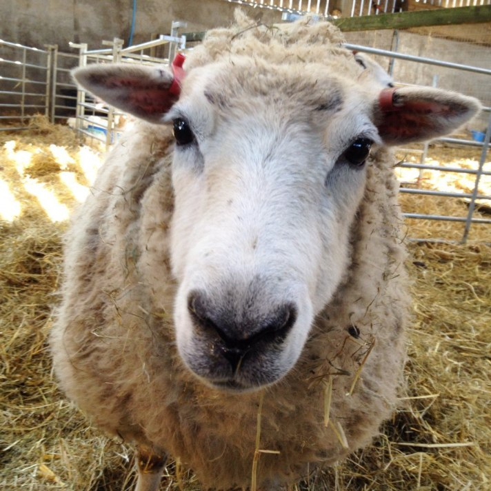 Sheep named Lucky from the farm in Cobham