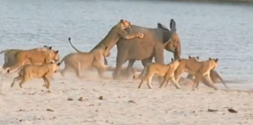 Baby elephant survives 14 attacking lions