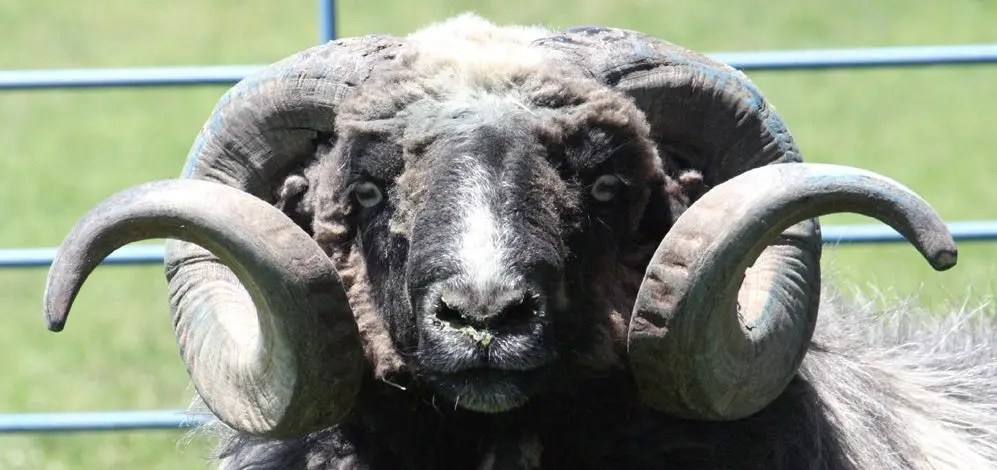 Close-up of rams face