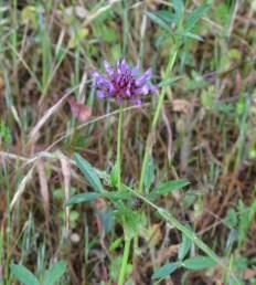 tomcat clover (Trifolium wildenovii); NE meadow Albany Hill; photo by Margot Cunningham