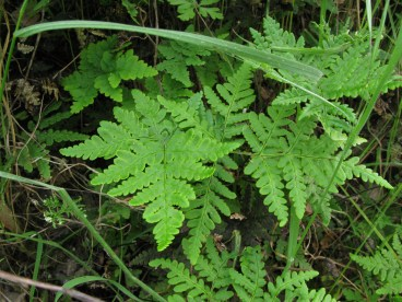 gold back fern (Pentagramma triangularis); N side Albany Hill; photo by Margot Cunningham