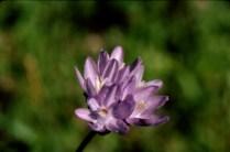 blue dicks (Dichelostemma capitatum); photo by Barbara Ertter, 1998
