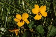 johnny jump up (Viola pedunculata); photo by Barbara Ertter, 1998