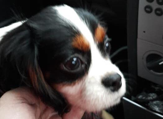 Angelina – 1-year old King Charles Cavalier – Stone, Staffordshire