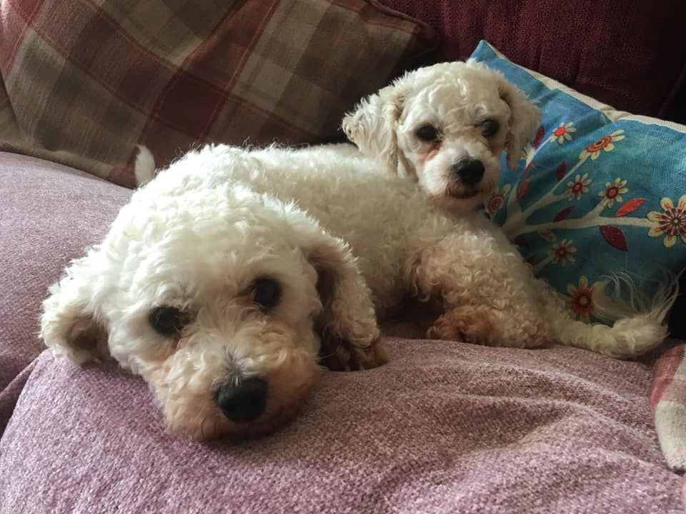 REHOMED Betty & Barney - c 3 to 5 year old Bichon Frise