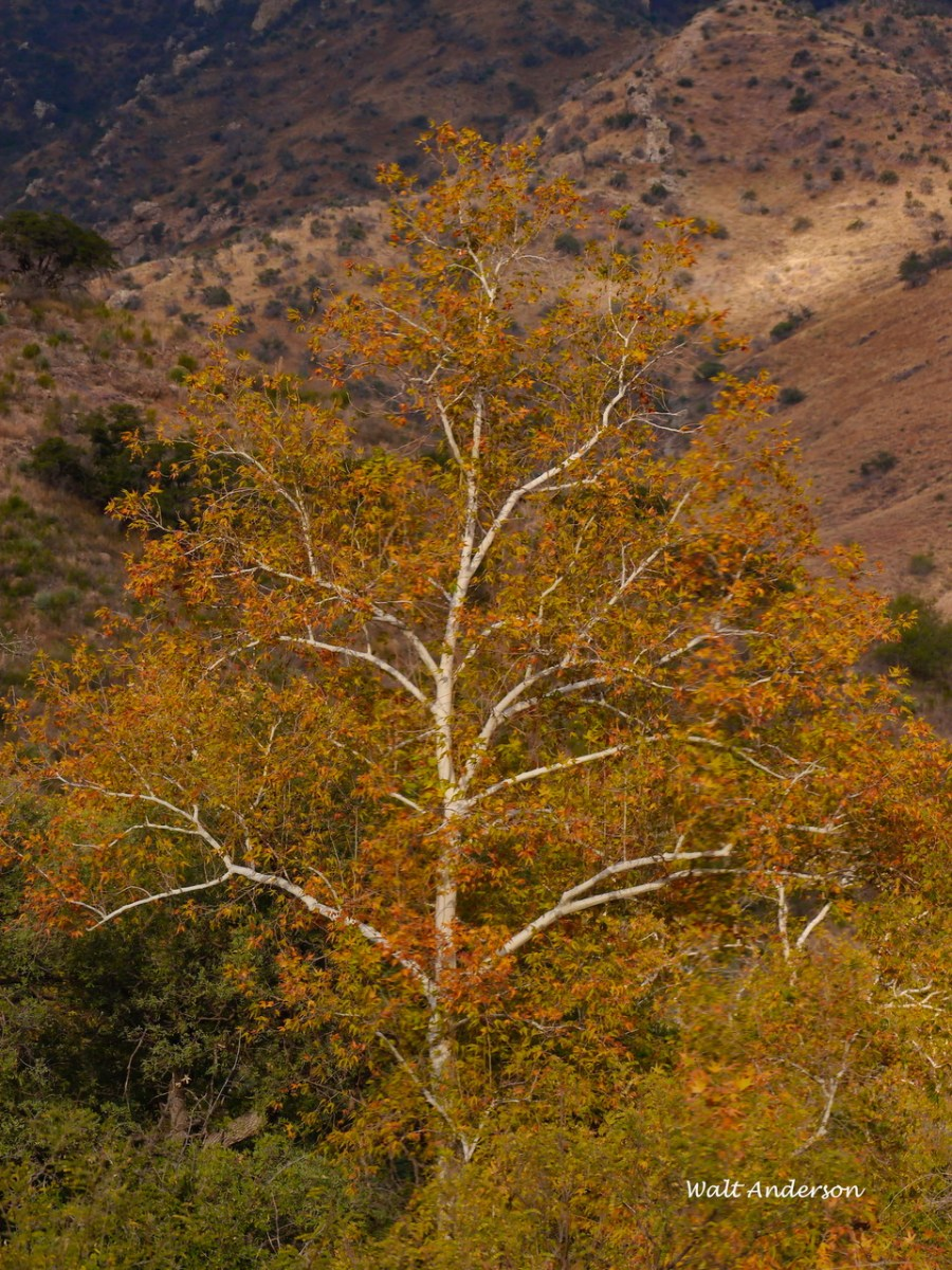 Arizona Sycamore, Brown Canyon