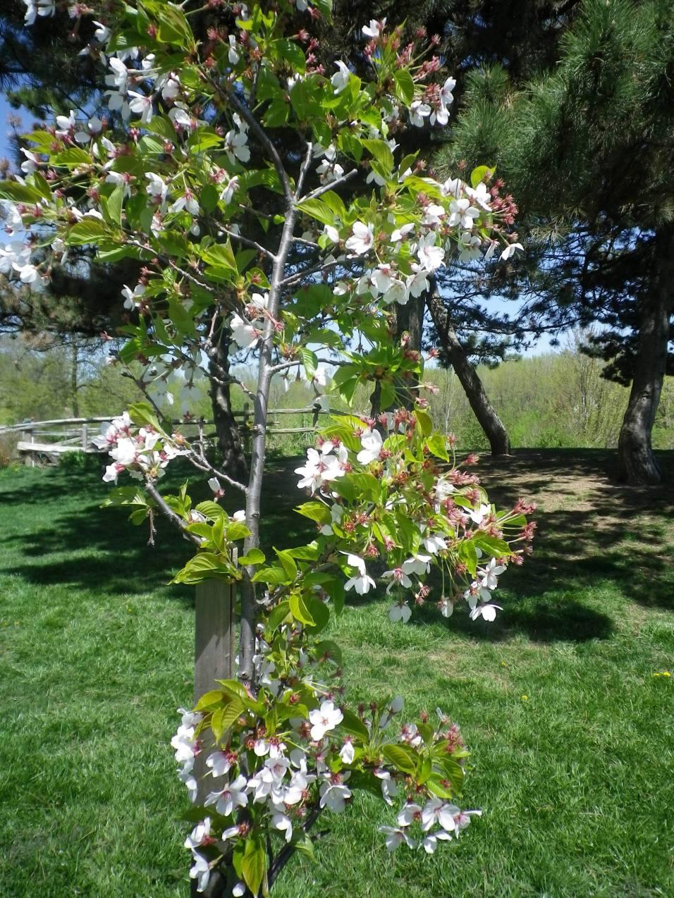 cedarvale-cherry-blossoms-024