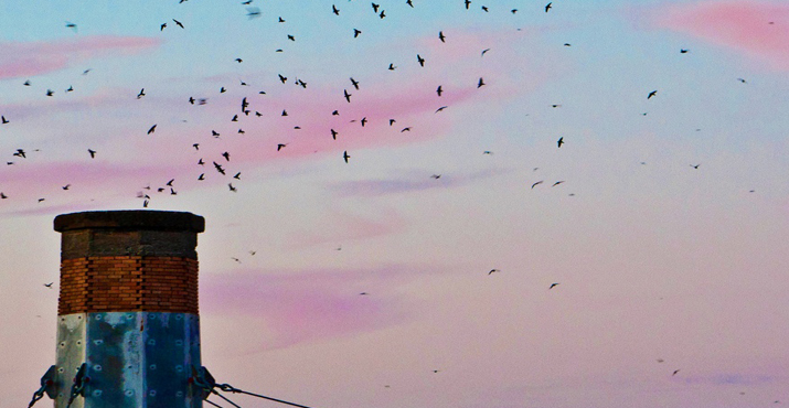 swifts_at_sunset