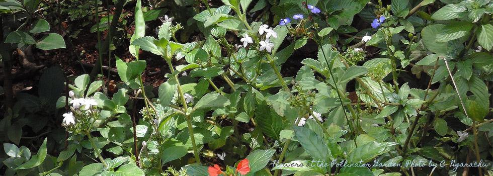 Flowers at pollinator garden. Photo by cngarachu