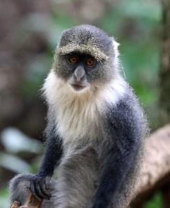 Do not feed the Sykes monkeys