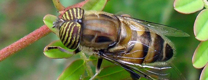 Hoverfly in the family Syrphidae