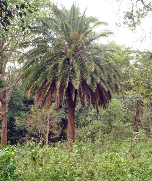 Palm tree - Phoenix-canariensis