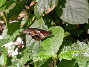 Butterfly at City Park Nairobi