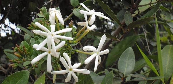 Cluster of Jasmine flowers at City Park @cngarachu