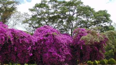 Bouganvillea with an Albizia tree in the background