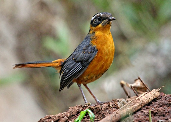 Ruppell's Robin Chat by P. Usher
