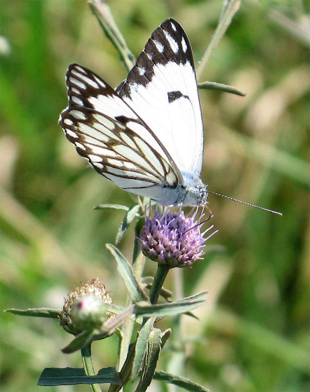 Caper white