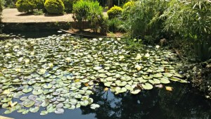 Water lilies in blossom at the fish pond