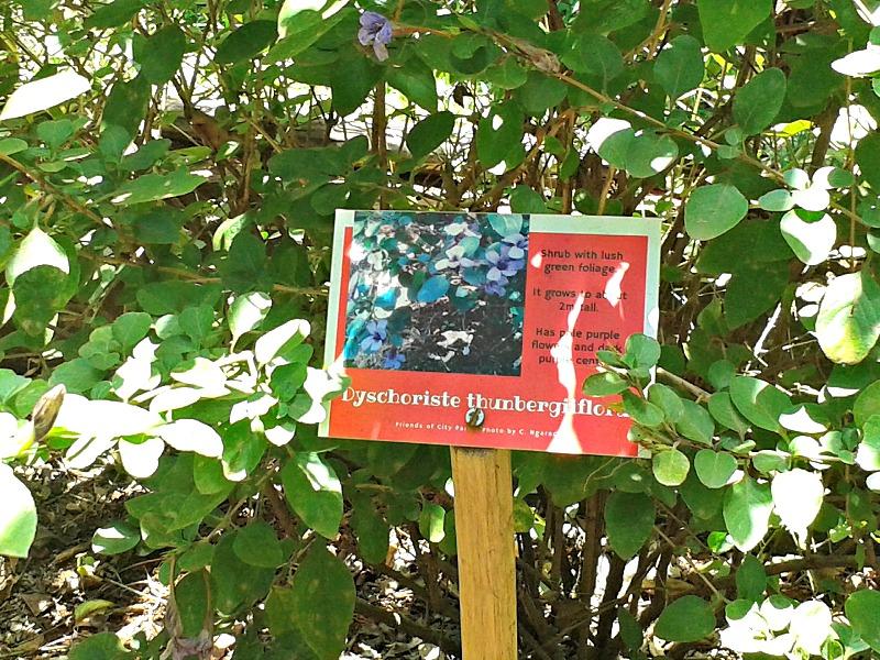 Dyschoriste shrub label