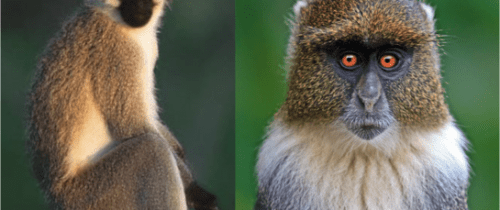 Sykes_and_Vervet_Monkeys_50