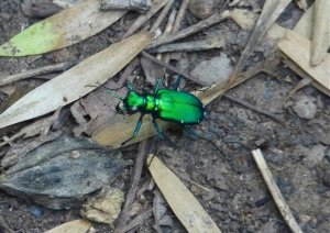 Site 13 Six-spotted Tiger Beetle